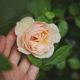 pruning a rose